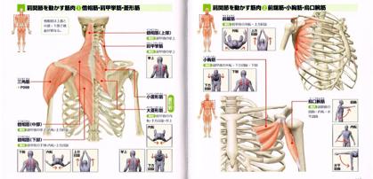 肩甲骨を動かす筋肉